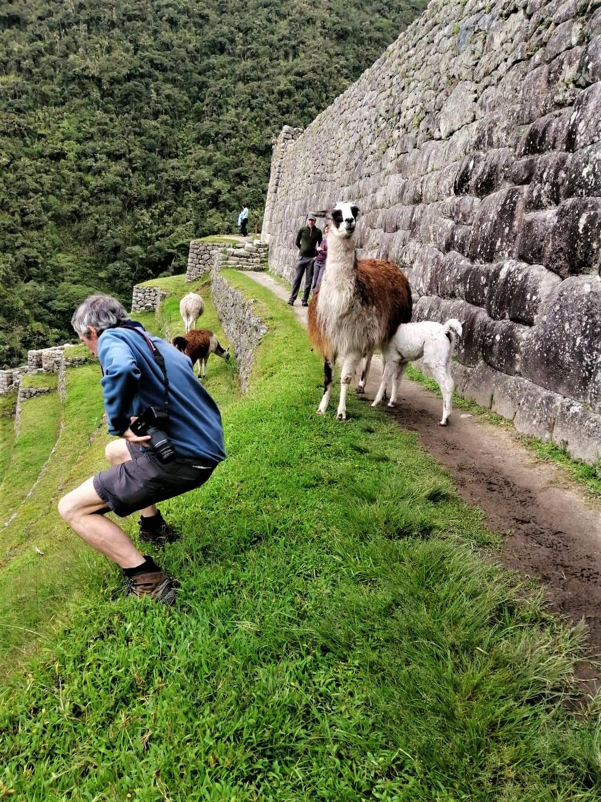 Llamas at Inca Trail