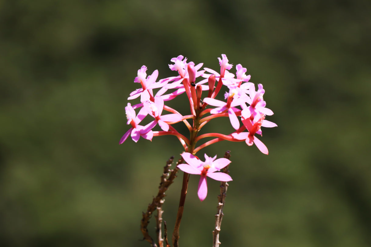 The Wiñaywayna Orchid