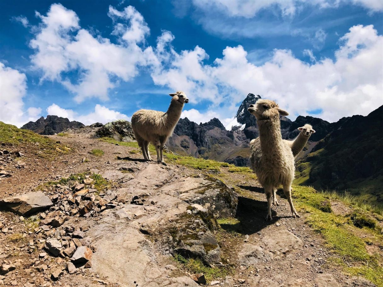 Alpacs in the Andes